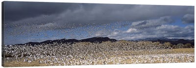 Flock of Snow geese flying, Bosque del Apache National Wildlife Reserve, Socorro County, New Mexico, USA #4 Canvas Art Print