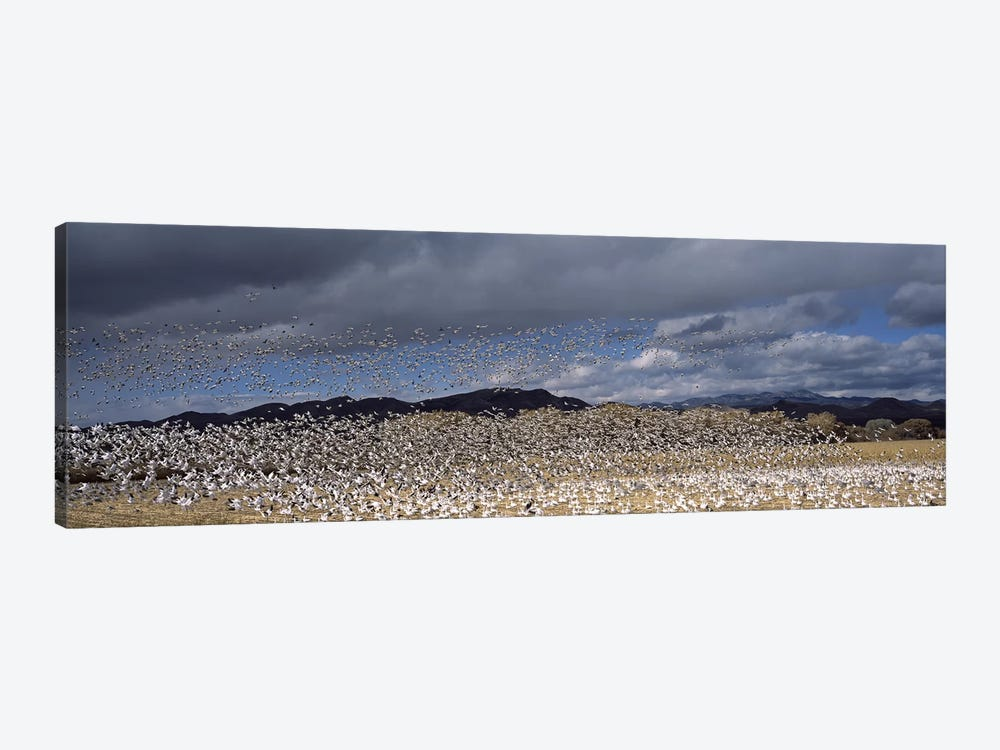 Flock of Snow geese flying, Bosque del Apache National Wildlife Reserve, Socorro County, New Mexico, USA #4 by Panoramic Images 1-piece Canvas Artwork