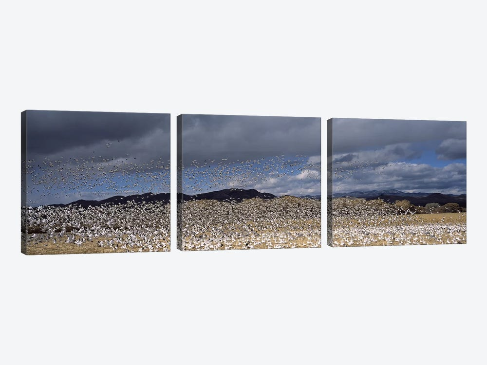 Flock of Snow geese flying, Bosque del Apache National Wildlife Reserve, Socorro County, New Mexico, USA #4 by Panoramic Images 3-piece Canvas Art