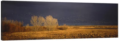 Flock of Snow geese flying, Bosque del Apache National Wildlife Reserve, Socorro County, New Mexico, USA #5 Canvas Art Print
