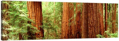 Redwoods Muir Woods CA USA Canvas Art Print