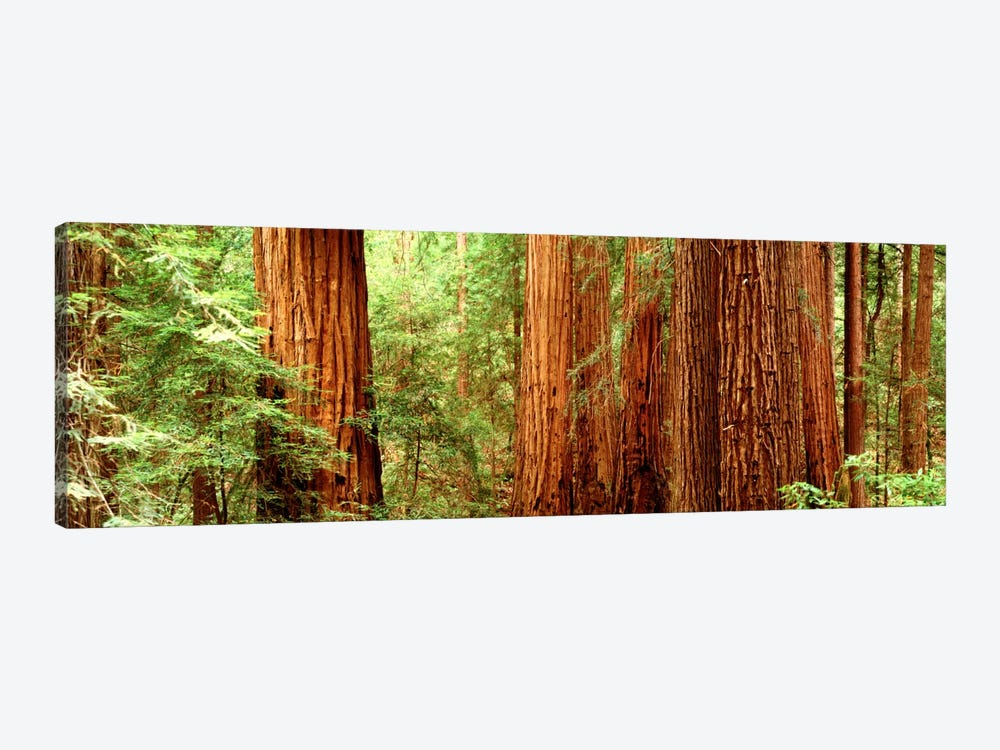 Redwoods Muir Woods CA USA by Panoramic Images 1-piece Canvas Artwork