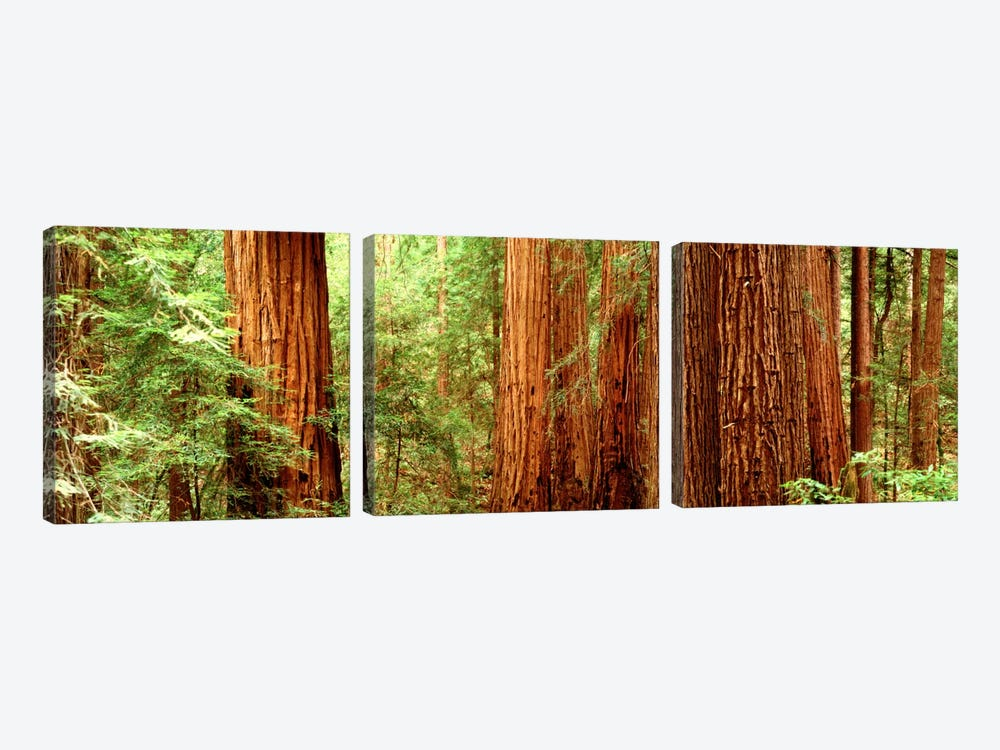 Redwoods Muir Woods CA USA by Panoramic Images 3-piece Canvas Wall Art