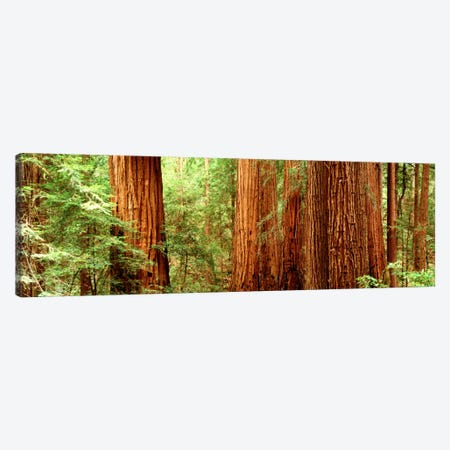 Redwoods Muir Woods CA USA Canvas Print #PIM750} by Panoramic Images Canvas Artwork