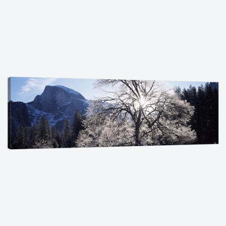 Low angle view of a snow covered oak tree, Yosemite National Park, California, USA Canvas Print #PIM7557} by Panoramic Images Canvas Wall Art
