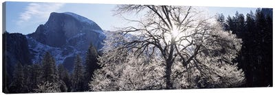 Low angle view of a snow covered oak tree, Yosemite National Park, California, USA Canvas Art Print