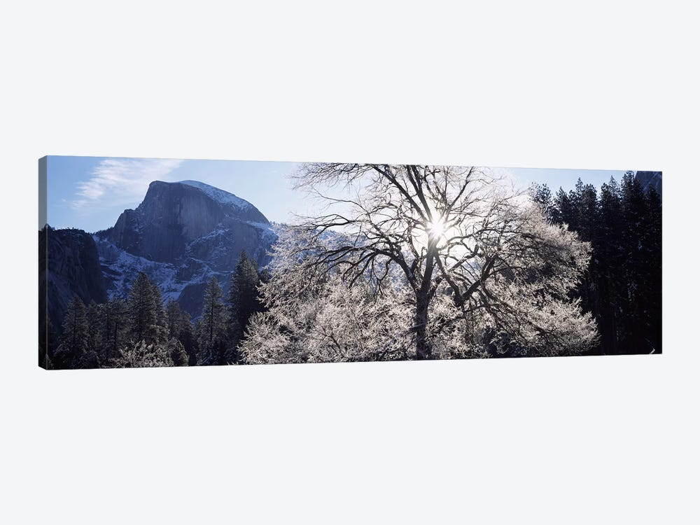 Low angle view of a snow covered oak tree, Yosemite National Park, California, USA by Panoramic Images 1-piece Canvas Art