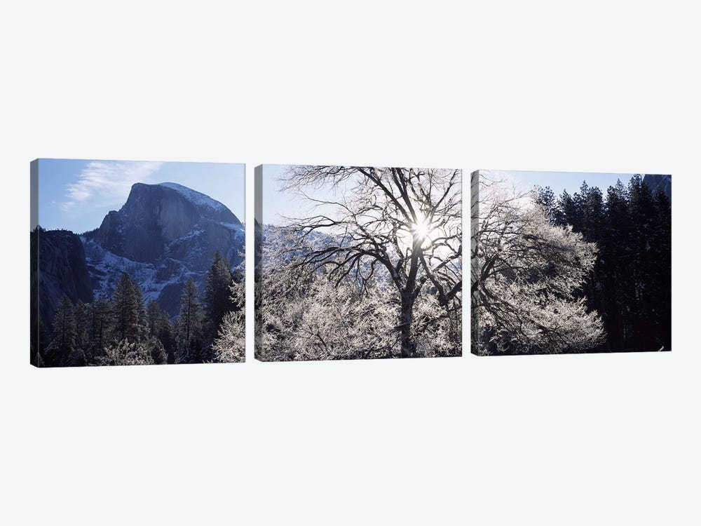 Low angle view of a snow covered oak tree, Yosemite National Park, California, USA by Panoramic Images 3-piece Canvas Artwork
