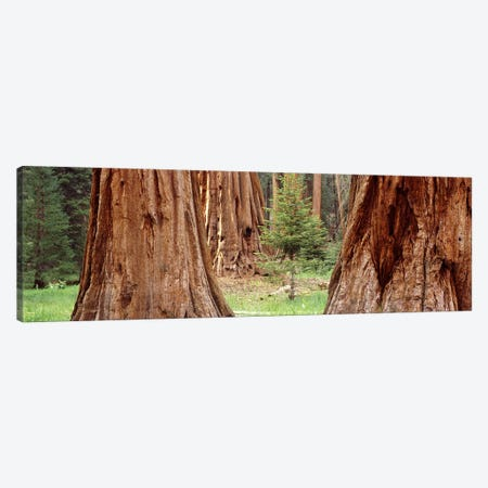 Sapling among full grown Sequoias, Sequoia National Park, California, USA Canvas Print #PIM7558} by Panoramic Images Art Print