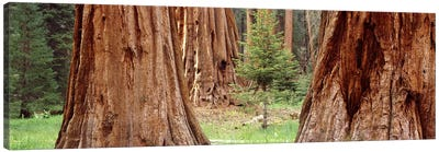 Sapling among full grown Sequoias, Sequoia National Park, California, USA Canvas Print #PIM7558