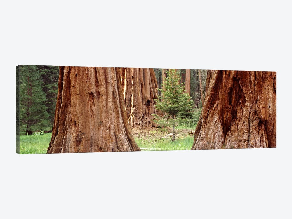 Sapling among full grown Sequoias, Sequoia National Park, California, USA by Panoramic Images 1-piece Art Print