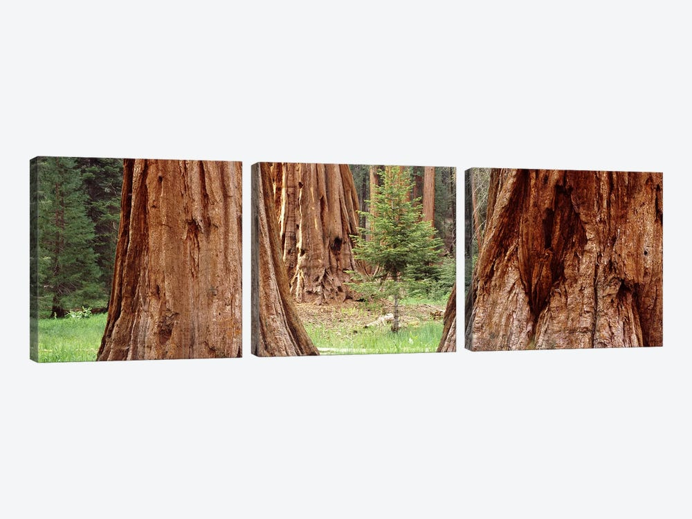 Sapling among full grown Sequoias, Sequoia National Park, California, USA by Panoramic Images 3-piece Canvas Art Print