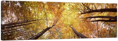 Low angle view of trees, Bavaria, Germany Canvas Art Print