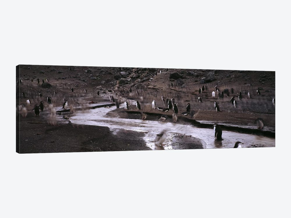 Penguins make their way to the colonyBaily Head, Deception Island, South Shetland Islands, Antarctica by Panoramic Images 1-piece Canvas Art