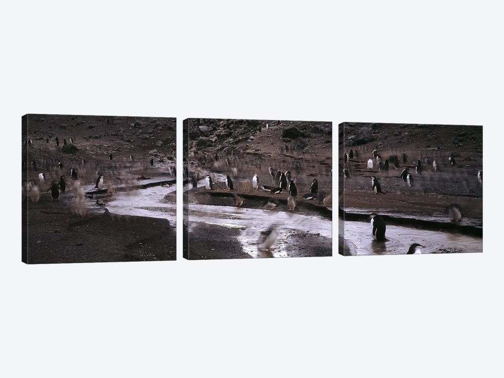 Penguins make their way to the colonyBaily Head, Deception Island, South Shetland Islands, Antarctica by Panoramic Images 3-piece Canvas Wall Art