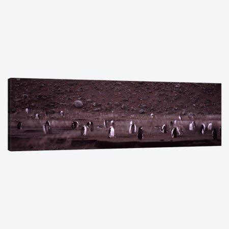 Penguins make their way to the colony, Baily Head, Deception Island, South Shetland Islands, Antarctica Canvas Print #PIM7609} by Panoramic Images Canvas Art Print