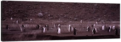 Penguins make their way to the colony, Baily Head, Deception Island, South Shetland Islands, Antarctica Canvas Art Print