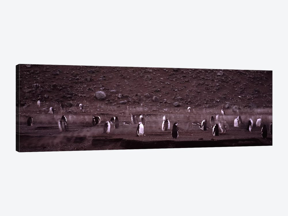 Penguins make their way to the colony, Baily Head, Deception Island, South Shetland Islands, Antarctica by Panoramic Images 1-piece Canvas Print