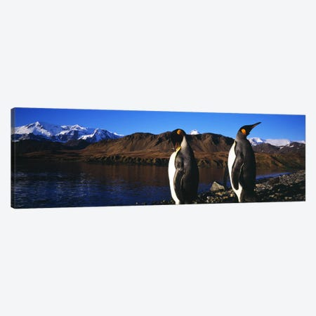 Close-Up Of Two King Penguins, King Edward Point, South Georgia Island Canvas Print #PIM7610} by Panoramic Images Canvas Wall Art