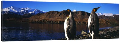 Two King penguins (Aptenodytes patagonicus) on shore of Cumberland Bay EastKing Edward Point, Cumberland Bay, South Georgia Isla Canvas Art Print