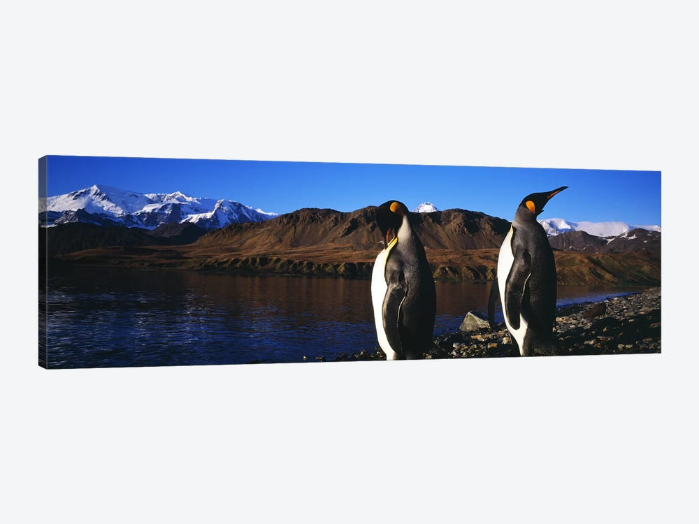 Close-Up Of Two King Penguins, King Edward Point, South Georgia Island by Panoramic Images 1-piece Canvas Print