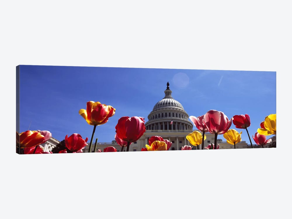 Tulips with a government building in the background, Capitol Building, Washington DC, USA by Panoramic Images 1-piece Canvas Art Print