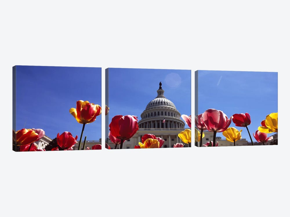 Tulips with a government building in the background, Capitol Building, Washington DC, USA by Panoramic Images 3-piece Art Print