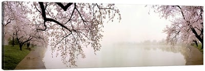 Cherry blossoms at the lakesideWashington DC, USA Canvas Art Print
