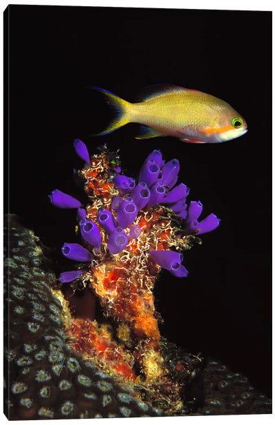 Bluebell tunicate (Clavelina puertosecensis) and Anthias Fish (Pseudanthias lori) in the sea Canvas Print #PIM7681