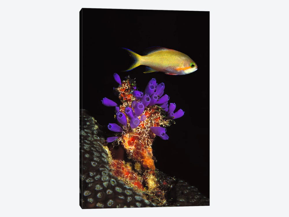 Bluebell tunicate (Clavelina puertosecensis) and Anthias Fish (Pseudanthias lori) in the sea by Panoramic Images 1-piece Canvas Print