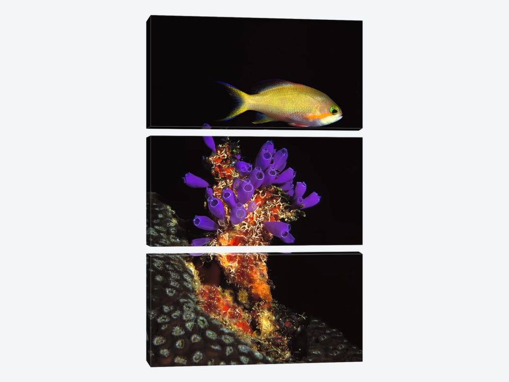 Bluebell tunicate (Clavelina puertosecensis) and Anthias Fish (Pseudanthias lori) in the sea by Panoramic Images 3-piece Canvas Art Print