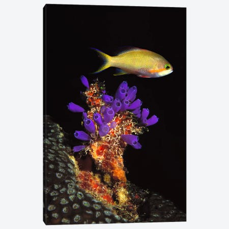 Bluebell tunicate (Clavelina puertosecensis) and Anthias Fish (Pseudanthias lori) in the sea Canvas Print #PIM7681} by Panoramic Images Canvas Print