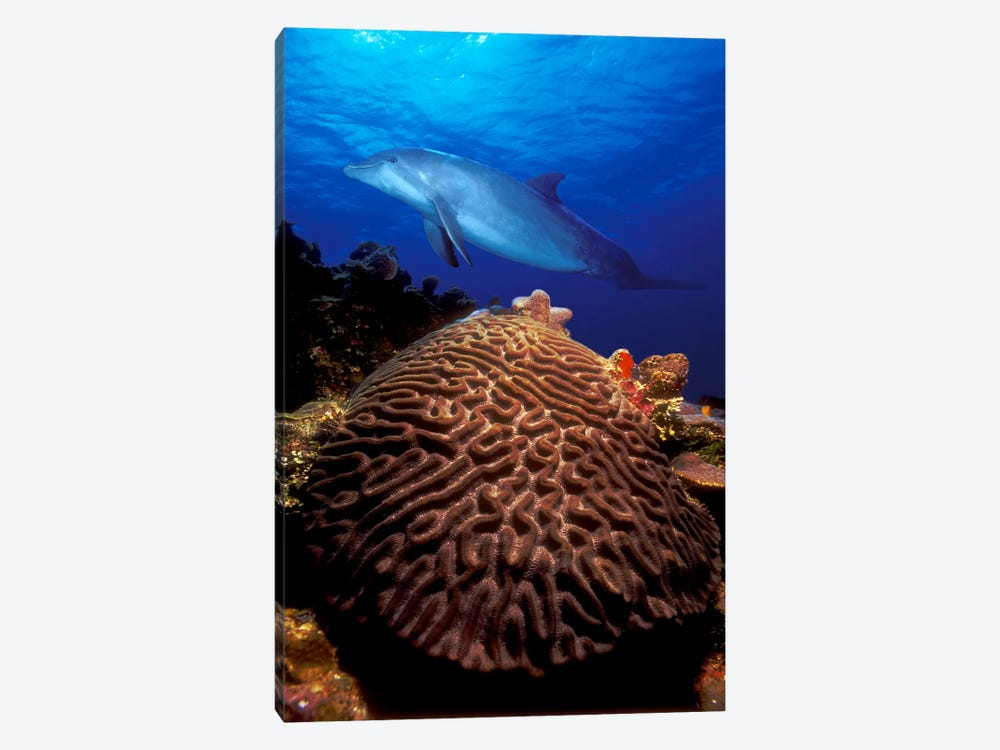 Bottle-Nosed dolphin (Tursiops truncatus) and coral in the sea by Panoramic Images 1-piece Canvas Artwork