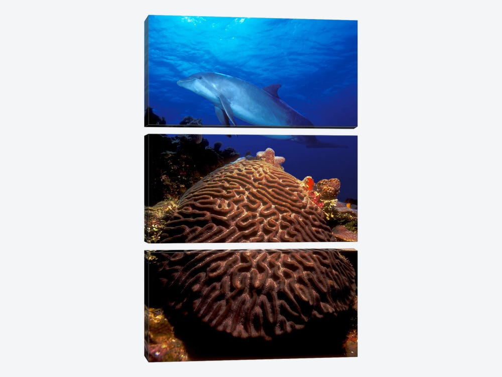 Bottle-Nosed dolphin (Tursiops truncatus) and coral in the sea by Panoramic Images 3-piece Canvas Artwork