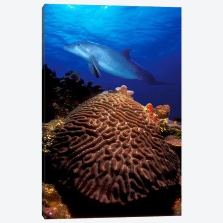 Bottle-Nosed dolphin (Tursiops truncatus) and coral in the sea Canvas Print #PIM7682} by Panoramic Images Canvas Art Print