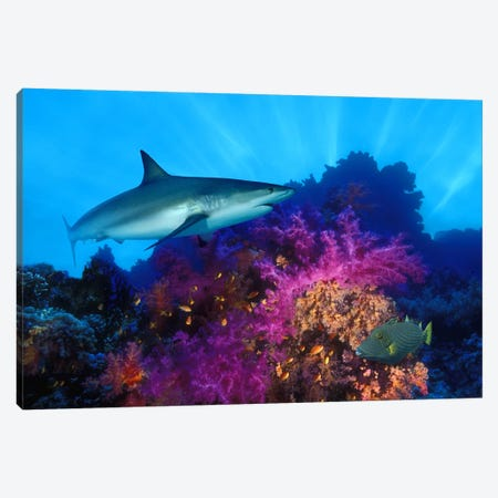 Caribbean Reef shark (Carcharhinus perezi) and Soft corals in the ocean Canvas Print #PIM7683} by Panoramic Images Art Print