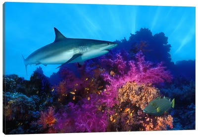 Caribbean Reef shark (Carcharhinus perezi) and Soft corals in the ocean Canvas Art Print