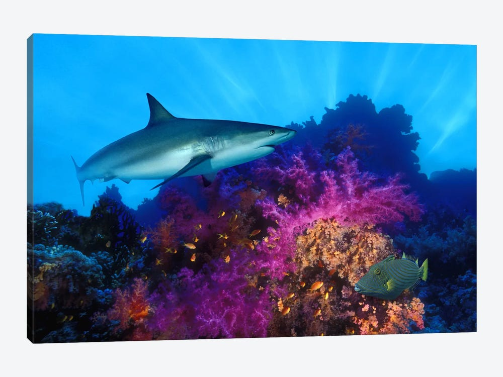Caribbean Reef shark (Carcharhinus perezi) and Soft corals in the ocean by Panoramic Images 1-piece Art Print