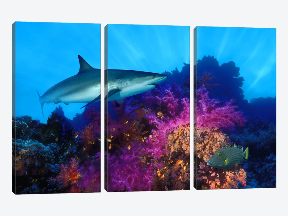 Caribbean Reef shark (Carcharhinus perezi) and Soft corals in the ocean by Panoramic Images 3-piece Canvas Art Print