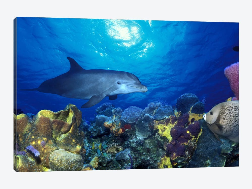 Bottle-Nosed dolphin (Tursiops truncatus) and Gray angelfish (Pomacanthus arcuatus) on coral reef in the sea by Panoramic Images 1-piece Canvas Art