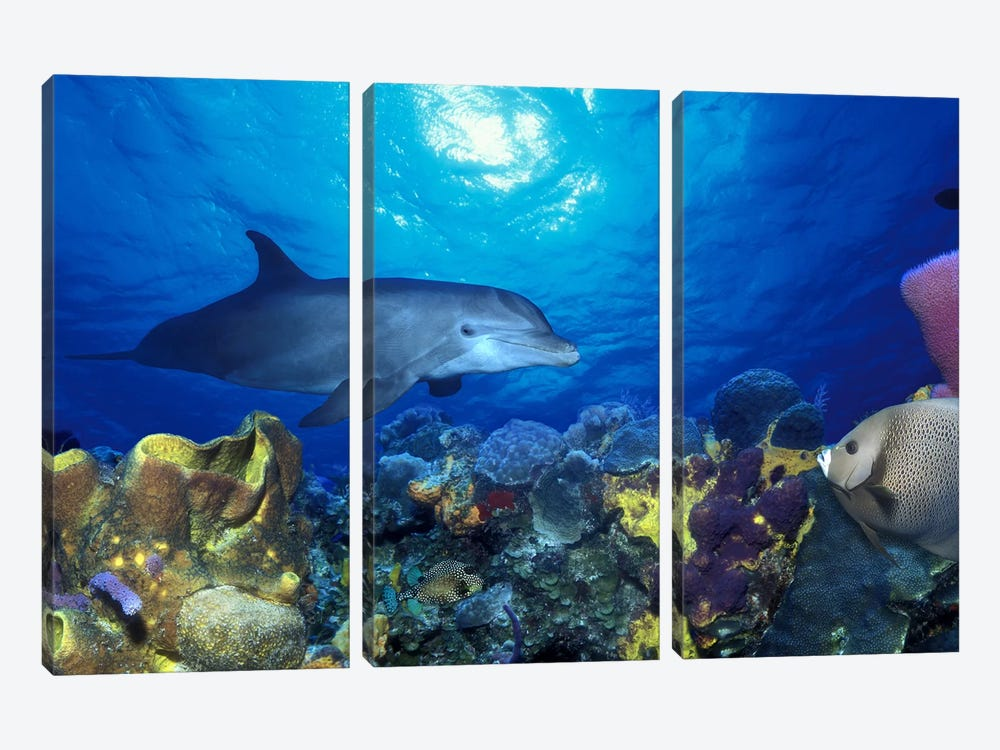 Bottle-Nosed dolphin (Tursiops truncatus) and Gray angelfish (Pomacanthus arcuatus) on coral reef in the sea by Panoramic Images 3-piece Canvas Wall Art