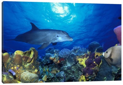 Bottle-Nosed dolphin (Tursiops truncatus) and Gray angelfish (Pomacanthus arcuatus) on coral reef in the sea Canvas Art Print