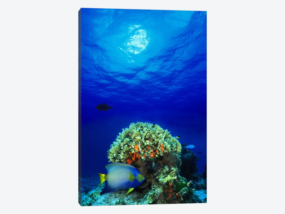 Queen angelfish (Holacanthus ciliaris) and Blue chromis (Chromis cyanea) with Black Durgon in the sea by Panoramic Images 1-piece Canvas Print