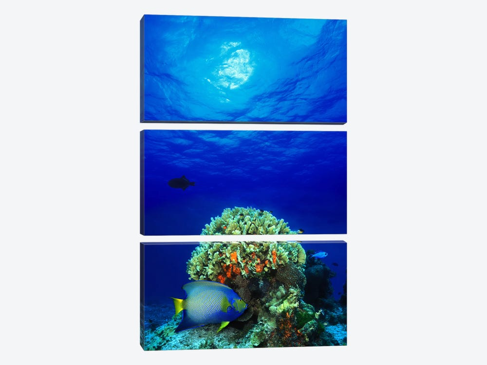 Queen angelfish (Holacanthus ciliaris) and Blue chromis (Chromis cyanea) with Black Durgon in the sea by Panoramic Images 3-piece Art Print