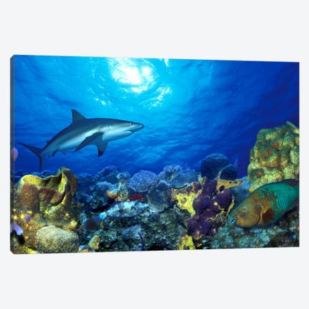 Caribbean Reef shark (Carcharhinus perezi) Rainbow Parrotfish (Scarus guacamaia) in the sea Canvas Print #PIM7686} by Panoramic Images Canvas Wall Art