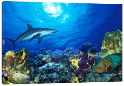 Caribbean Reef shark (Carcharhinus perezi) Rainbow Parrotfish (Scarus guacamaia) in the sea Canvas Print #PIM7686