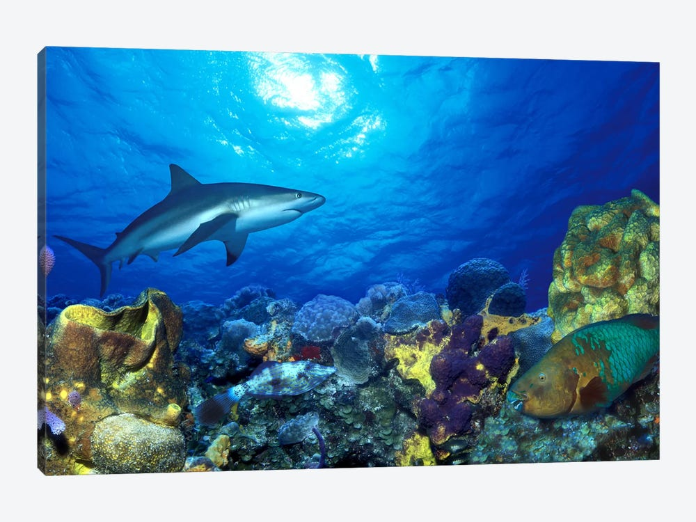 Caribbean Reef shark (Carcharhinus perezi) Rainbow Parrotfish (Scarus guacamaia) in the sea by Panoramic Images 1-piece Canvas Wall Art