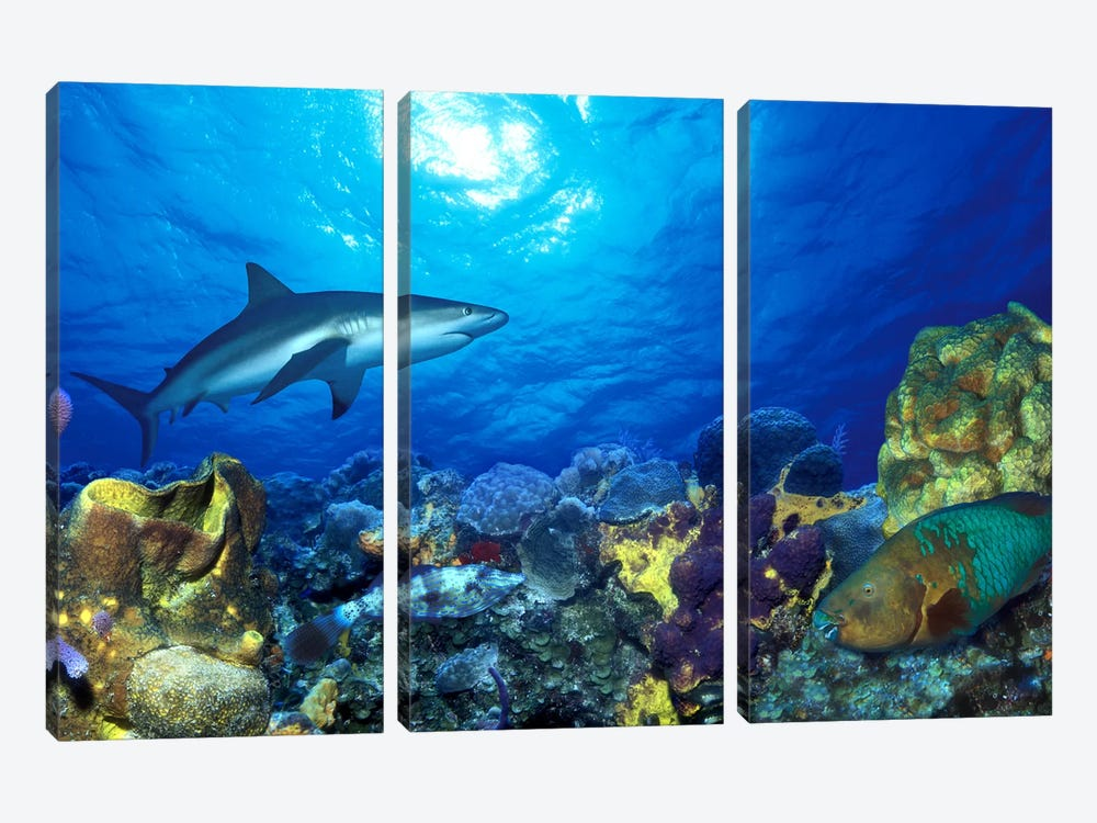 Caribbean Reef shark (Carcharhinus perezi) Rainbow Parrotfish (Scarus guacamaia) in the sea by Panoramic Images 3-piece Canvas Wall Art