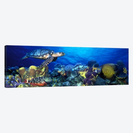 Hawksbill turtle (Eretmochelys Imbricata) and French angelfish (Pomacanthus paru) with Stoplight Parrotfish (Sparisoma viride) Canvas Print #PIM7687} by Panoramic Images Canvas Artwork
