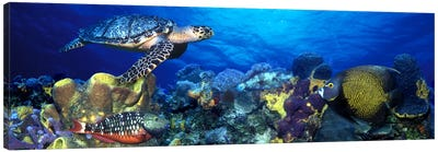 Hawksbill turtle (Eretmochelys Imbricata) and French angelfish (Pomacanthus paru) with Stoplight Parrotfish (Sparisoma viride) Canvas Art Print